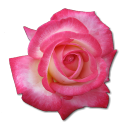 128x128px size png icon of Rose Tea