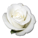 128x128px size png icon of Rose White 1