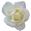 128x128px size png icon of Rose White 2