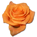128x128px size png icon of Rose orange 2