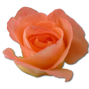 128x128px size png icon of Rose peach 2