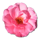 128x128px size png icon of Wild Rose Pink 1