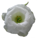 128x128px size png icon of Wild Rose White 1