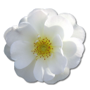 128x128px size png icon of Wild Rose White 2