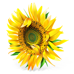 256x256px size png icon of Sunflower