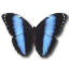 64x64px size png icon of Morpho Achilles