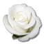 64x64px size png icon of Rose White 1
