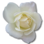 64x64px size png icon of Rose White 2