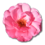 64x64px size png icon of Wild Rose Pink 1