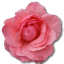 64x64px size png icon of Wild Rose Pink 2