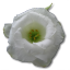 64x64px size png icon of Wild Rose White 1