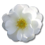 64x64px size png icon of Wild Rose White 2