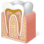64x64px size png icon of Body Tooth Anatomy