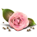 72x72px size png icon of Rose