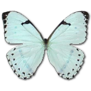 Mint Morpho Icon